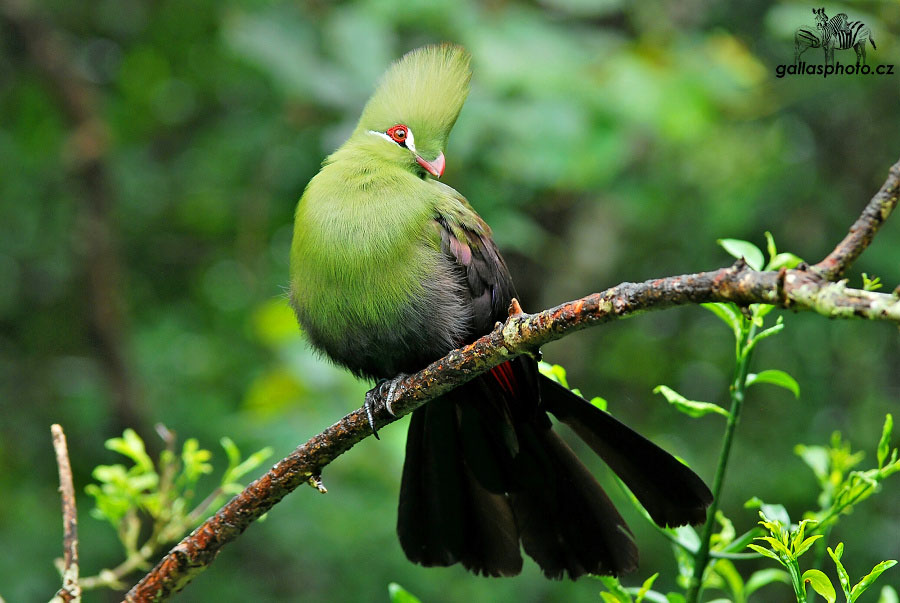 Green crested turaco